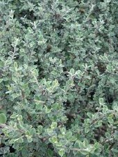 Cotoneaster, Greyleaf, 5 gal