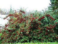 Cotoneaster, Cranberry, 3 gal