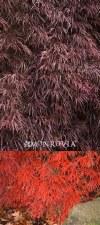 JMaple, Crimson Queen, 10or15g