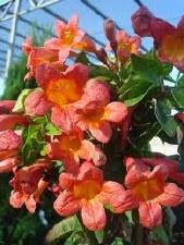 Crossvine, Tangerine Buty, 1 g