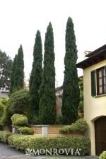Cypress, Italian, Blue 7gal