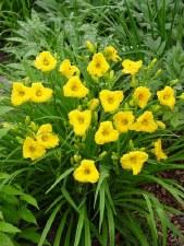 Daylily, Bakabana, 1 or 2g