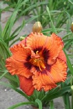 Daylily, Blaze of Glory, 1or2g