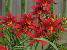 Daylily, Crimson Pirate, 1or2g