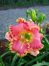 Daylily, Diva's Choice 1or2gal