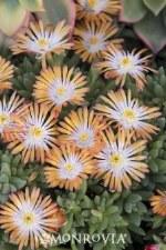 Ice Plant, Jewel Topaz 1g