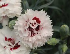 Dianthus, Bright Eyes, 1g