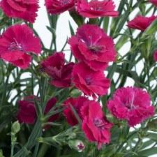 Dianthus, Delilah Magenta, 1g