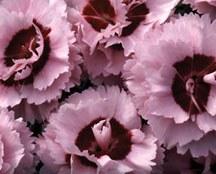 Dianthus, Raspberry Surprise1g