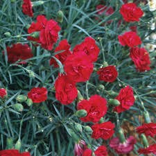 Dianthus, Ruby Tuesday, 1g
