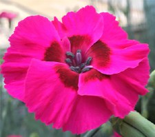 Dianthus, Bumbleberry Pie 1gal