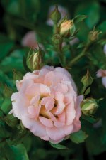 Rose, Drift® Peach, 2or3 gal