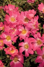 Rose, Drift® Pink, 2or3 gal