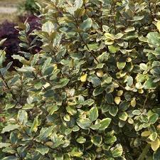 Elaeagnus, Olive Martini 3g