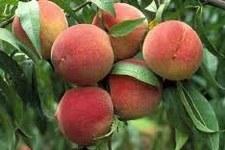 Peach, Elberta, 5 gal