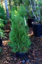 Arborvitae, Emerald Grn, 3 gal