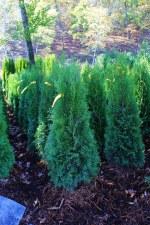 Arborvitae, Emerald Grn, 4-5'