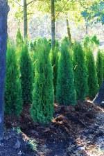 Arborvitae, Emerald Grn, 6-7'