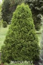 Arborvitae, Emerald Grn, 8-10'