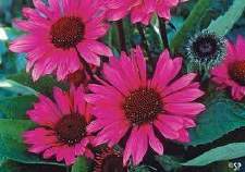 Coneflower, Fatal Attract, 1g