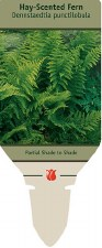 Fern, Hay Scented, 1g