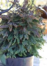 Cypress, Fernspray, 3 gal