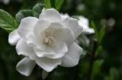 Gardenia, Frost Proof, 3 gal