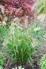 Grass, Cassians Choice, 3 gal