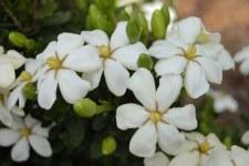 Gardenia, Heaven Scent, 3g