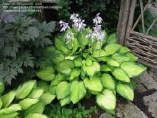 Hosta, Gold Standard, 1or2g