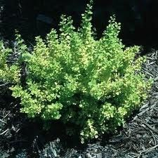 Barberry, Golden, 3 gal