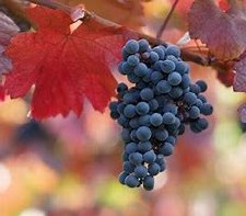 Grape, Monukka, 1g