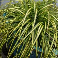 Grass, Eversheen Sedge 1 gal