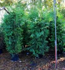 Arborvitae, Green Giant, 7 gal