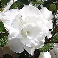 Azalea, Hardy Gardenia, 3 gal