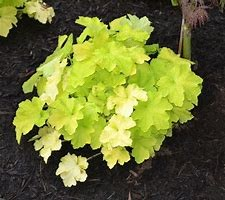 Heuchera, Citronelle, 1or2g