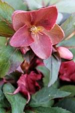 Helleborus, Pink Frost, 1 gal