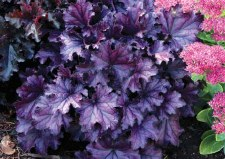 Heuchera, Forever Purple,1or2g
