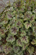 Heuchera, Green Spice, 1gal