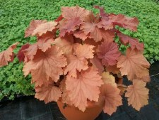 Heuchera, Mega Caramel, 1or2g