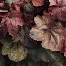 Heuchera, Plum Crazy, 1 gal