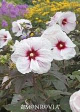 Hibiscus, Kopper King, H 2or3g