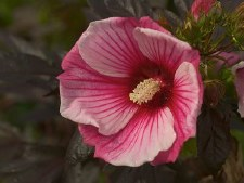Hibiscus, Small Wonder H 2or3g