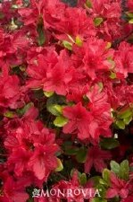 Azalea, Hino Crimson, 3 gal
