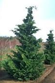 Cypress, Hinioki Slndr, 10/15g