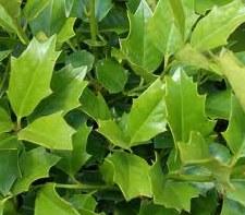 Holly, Oak Leaf, 10/15 gal