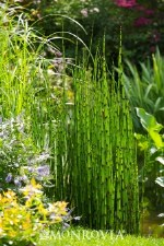 Horsetail Reed, 1 gal