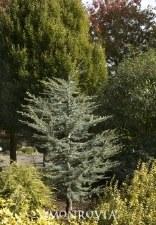 Cedar, Horstmann Blue Atlas 5g