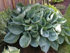 Hosta, Abiqua DrinkGourd,1or2g
