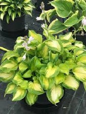 Hosta, Banana Bay, L.S. 1gal